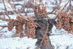 Vinhedo e uvas de Icewine Fotos de Stock