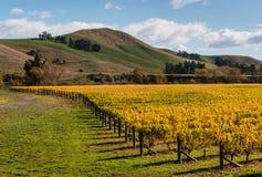 Vinhedo em cores do outono Foto de Stock Royalty Free