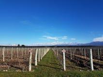 Vinhedo em Mendoza, fundo de Aconcagua Foto de Stock Royalty Free