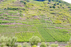 Vinhedo em montes verdes no riverbank de Moselle Imagens de Stock