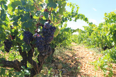 Vinhedo em Provence Foto de Stock Royalty Free