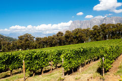 Vinhedo em Stellenbosch Fotos de Stock