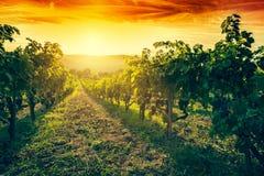 Vinhedo em Toscânia, italy Exploração agrícola do vinho no por do sol vintage Imagem de Stock Royalty Free