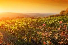 Vinhedo em Toscânia, uvas maduras no por do sol Fotografia de Stock