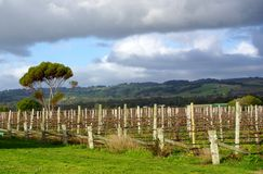 Vinhedo, eucaliptos & montes Fotografia de Stock Royalty Free