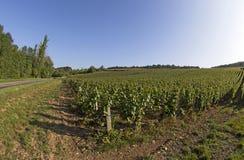 Vinhedo francês Imagem de Stock