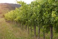 Vinhedo idílico, uvas na fileira Imagem de Stock