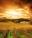 Vinhedo impressionante do por do sol Imagem de Stock