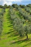 Vinhedo italiano Foto de Stock