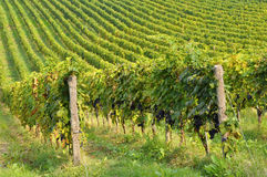 Vinhedo italiano rural Imagem de Stock Royalty Free