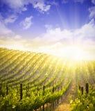 Vinhedo luxúria bonito da uva e céu dramático fotografia de stock