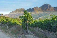 Vinhedo na adega de Stellenbosch com montanhas Imagens de Stock Royalty Free