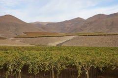 Vinhedo no deserto de Atacama, o Chile Imagens de Stock