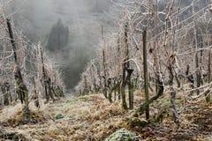 Vinhedo no inverno Fotografia de Stock