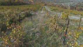Vinhedo no outono tiro Ideia bonita dos campos da uva video estoque