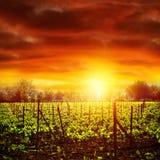 Vinhedo no por do sol Fotografia de Stock