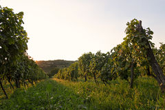Vinhedo no por do sol Ajardine com vinhedos do outono e a uva orgânica em ramos da videira Foto de Stock Royalty Free