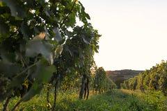 Vinhedo no por do sol Ajardine com vinhedos do outono e a uva orgânica em ramos da videira Fotografia de Stock