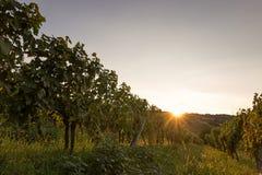Vinhedo no por do sol Ajardine com vinhedos do outono e a uva orgânica em ramos da videira Imagens de Stock