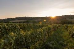 Vinhedo no por do sol Ajardine com vinhedos do outono e a uva orgânica em ramos da videira Foto de Stock
