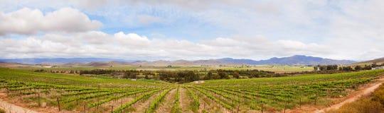 Vinhedo no sul - região africana dos winelands fotos de stock
