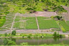 Vinhedo no vale de Moselle Foto de Stock Royalty Free