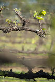 Vinhedo orgânico no vale de McLaren, Austrália Imagens de Stock