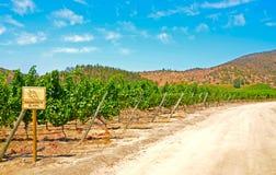 Vinhedo Sauvignon Blanc Imagem de Stock Royalty Free