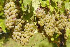 Vinhedo - uvas Imagens de Stock