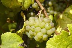 Vinhedo - uvas e folhas da videira Fotografia de Stock Royalty Free