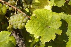 Vinhedo - uvas e folhas da videira Fotos de Stock Royalty Free