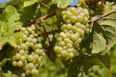 Vinhedo - uvas e folhas da videira Imagens de Stock