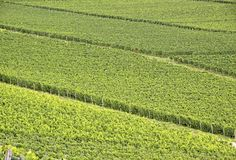 Vinhedo verde Imagens de Stock Royalty Free