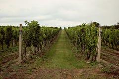 Vinhedo verde - cenário, paisagem Fotos de Stock Royalty Free