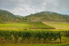 Vinhedo verde em montes do fundo germany Foto de Stock