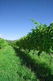 Vinhedo verde II Imagem de Stock