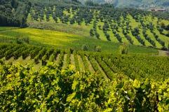 Vinhedo verde no Chianti, região de Toscânia imagens de stock royalty free