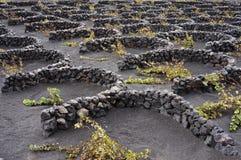 Vinhedo vulcânico imagens de stock
