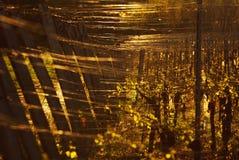 vinhedos Fotografia de Stock
