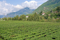 Vinhedos, alpes italianos fotografia de stock royalty free