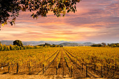 Vinhedos Autumn Sunset de Napa Valley Imagem de Stock Royalty Free