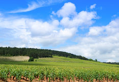 Vinhedos de Borgonha Fotografia de Stock Royalty Free