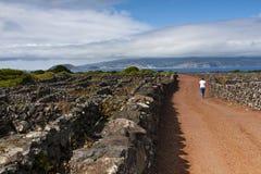 Vinhedos de Pico Fotografia de Stock