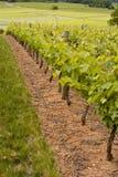 Vinhedos de Saumur. Foto de Stock