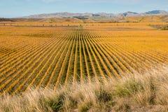 Vinhedos do outono na região de Marlborough Foto de Stock