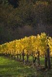 Vinhedos do outono, vale de Willamette, Oregon imagem de stock royalty free