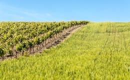 Vinhedos e wheatfield Fotografia de Stock