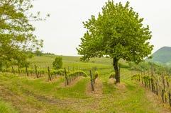 Vinhedos em montes de Euganean, Vêneto, Itália durante a mola Fotos de Stock Royalty Free