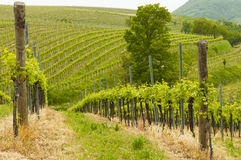 Vinhedos em montes de Euganean, Vêneto, Itália durante a mola Imagens de Stock Royalty Free