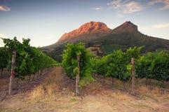 Vinhedos em torno de Stellenbosch, cabo ocidental, África do Sul, Afric Foto de Stock Royalty Free